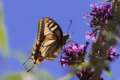 Machaon jaune commun de Papilio de machaon Photos libres de droits