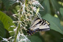 Machaon jaune sur le buisson de papillon Photographie stock
