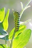 Machaon Linnaeus de Papilio da borboleta de Caterpillar, swa de Hvostonosets Fotografia de Stock Royalty Free
