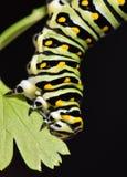 Machaon noir Caterpillar - larve de papillon, également appelée un ver de persil images stock