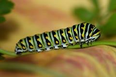 Machaon noir Caterpillar - larve de papillon, également appelée un ver de persil photo stock