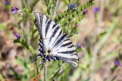 Machaon Papilio бабочки Swallowtail европейца стоковое изображение