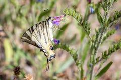 Machaon Papilio бабочки Swallowtail европейца стоковые фото