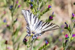 Machaon Papilio бабочки Swallowtail европейца стоковое изображение rf