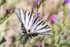 Machaon Papilio бабочки Swallowtail европейца swallowtail стоковое фото rf