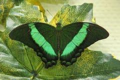 Machaon vert de papillon tropical sur la feuille verte Image stock