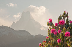 Machapuchare Rhododendrons Royalty Free Stock Image
