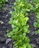 Mache-Salat auf weißem Hintergrund Lizenzfreies Stockbild