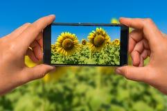 Machen des Fotos des Sonnenblumenfeldes mit Handy lizenzfreie stockfotografie