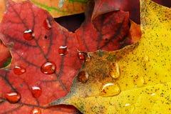 Machen Sie Blätter des Ahornholzes naß Stockfotografie