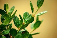 Machen Sie Blätter eines kleinen Boxwood Bush naß Lizenzfreie Stockbilder