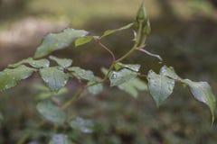 Machen Sie Blätter naß Lizenzfreie Stockfotografie