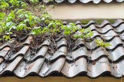 Machen Sie das mit Ziegeln gedeckte Dach nass, das durch Kletterpflanzen bedeckt wird Stockfotografie