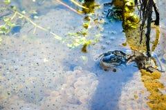 Machen Sie den Frosch fest, der über seine Eier aufpasst Stockfotografie