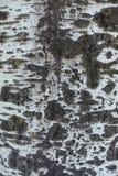 Machen Sie die Barke von Populus alba mit Schwarzes gespalteten Kennzeichen glatt stockfotos