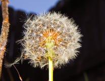 Machen Sie einen Wunsch-fallenden Samen von einem Löwenzahn Lizenzfreie Stockfotos