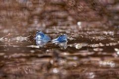 Machen Sie Frosch - Rana-arvalis blauen europäischen Frosch im kleinen Teich während des Frühlinges fest stockfotos