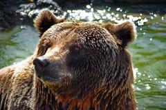 Machen Sie großen Braunbären mit Wasser im Hintergrund nass stockfotografie
