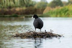 Machen Sie Henne auf einem See fest lizenzfreie stockfotos
