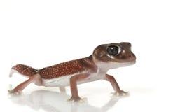 Machen Sie Knopf-angebundenen Gecko glatt stockfotografie