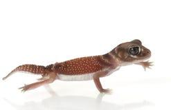 Machen Sie Knopf-angebundenen Gecko glatt stockbilder