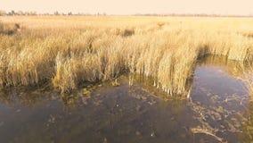 Machen Sie Luftschuß von einem schilfigen See während der Tageszeit glatt stock footage