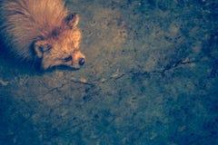 Machen Sie nass und tränken Sie die Niederlegung des braunen pomeranian Hundes mit dem gebohrten MOO stockbilder