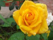 Machen Sie Rosafarbenes naß Stockfoto