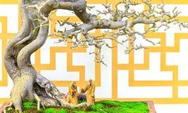 Machilus在泥罐的盆景树 库存照片