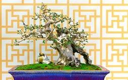 Machilus在泥罐的盆景树 免版税库存照片
