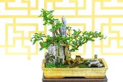Machilus bonsaiväxt Arkivbilder