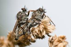 Machimus paropus Royalty Free Stock Images