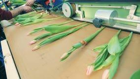 Machinalny przerób tulipany kłama na konwejerze zdjęcie wideo