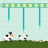 Machine bursting cows Stock Photos