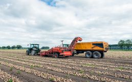 Machine harvesting of onions in the field. With a potato harvester pulled by a tractor, the rows with onions dried on the field are picked up and transported to Royalty Free Stock Image
