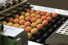 Machine for packing eggs. Automated sorting of raw and fresh chicken eggs in a packing facility Stock Photos