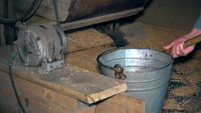Machine sift grain and worker hands draw oat and pour into steel bucket. Agricultural seasonal works. Closeup shot. 4K stock video