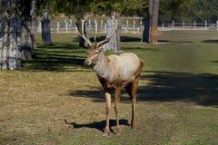 Macho adulto de los ciervos Fotos de archivo libres de regalías