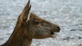 Macho adulto potente majestuoso de los ciervos en barbecho en animales del bosque de la caída del otoño en el ambiente natural en almacen de metraje de vídeo