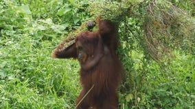 Macho alfa de Orang Utan que se acuesta foto de archivo