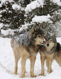 Macho alfa um cortejo fêmea do lobo cinzento Imagens de Stock