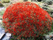 Macho-Anarthrophyllum Desiderata Neneo Flora in Nationalpark Torres Del Paine, südlicher Patagonia, Chile lizenzfreies stockbild