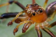 Macho, aranha de salto avermelhada Imagem de Stock Royalty Free