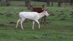 Macho blanco raro de los ciervos en barbecho almacen de metraje de vídeo