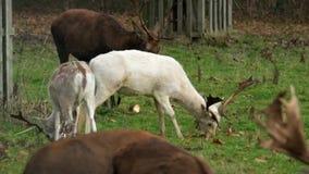 Macho blanco raro de los ciervos en barbecho metrajes