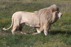 Macho branco do leão Imagens de Stock Royalty Free
