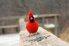 Macho cardinal Imagem de Stock