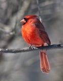 Macho cardinal do pássaro imagens de stock royalty free
