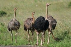 Macho da avestruz com harem Imagens de Stock