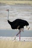 Macho da avestruz, Etosha, Namíbia Imagem de Stock Royalty Free